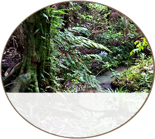 Small Kahikatea along the River
